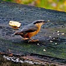 Nj Backyard Birds by Sedge Wren Cape May Point N J Birds Pinterest Wren Ids