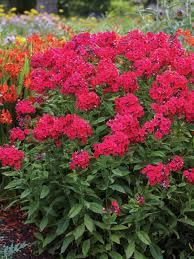 phlox flower phlox bluestone perennials