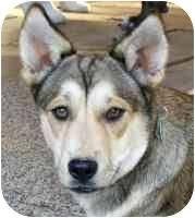 australian shepherd husky mix for sale tasha adopted dog canton tx siberian husky australian