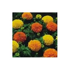 amazon com french marigold flower seeds 1 000 flower seeds in