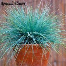 blue fescue festuca ornamental grasses ebay
