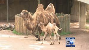 Lights At Lincoln Park Zoo by Lincoln Park Zoo Names Baby Camel U0027alexander Camelton