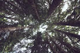 douglas fir insideclimate news