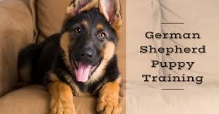 belgian shepherd easy to train how to train a german shepherd puppy thedogtrainingsecret com