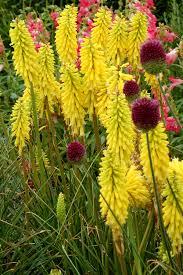 high heat plants kniphofia u0027lemon popsicle u0027 terra nova nurseries inc