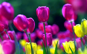 wallpaper bunga tulip 987 tulip hd wallpapers background images wallpaper abyss