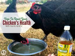 feeding garlic u0026 acv to your chickens