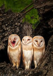 The Owl Barn Gift Collection Birds Of Prey Beautiful Barn Owl Family God U0027s Creatures