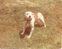 american pitbull terrier kingfish bloodline amstaffs are present in gamelines pitbulls go pitbull dog forums