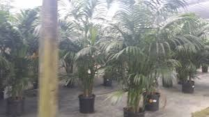 Florida Wholesale Plant Nursery Homestead Florida Kentia Palm