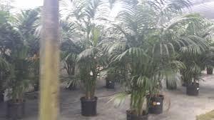 native hawaiian plant nursery florida wholesale plant nursery homestead florida kentia palm