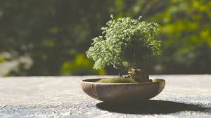 how to grow a bonsai tree floraqueen blog