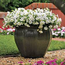 Dry Basement Wave Shock Wave Coconut Petunia Seeds
