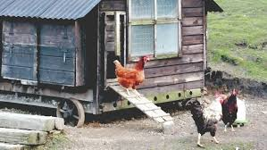 Backyard Chicken Coops Brisbane by Choosing The Right Henhouse For Your Chickens Completehome