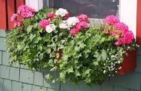 canula fiore piante da fiore in vaso 28 images giardinaggio celosia fiori