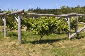 a grapevine growing healthily is centered in the middle of a