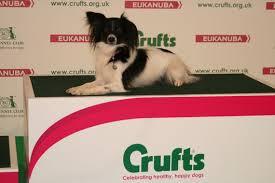 crufts australian shepherd 2014 auziway australian shepherds u0026 chinese crested dogs auziway u0027s
