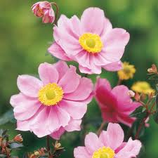 anemone plant anemone plant serenade bright and cheerful for a superb cut
