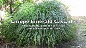 ornamental grasses liriope emerald cascade a weeping grass for