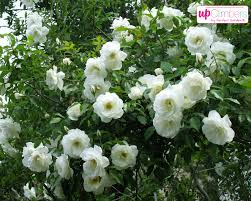 climbing rose rosa my perfect garden