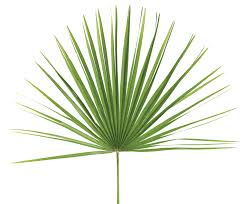 palm sunday palms for sale palm altar decor fan palm bag of 4 churchsupplies