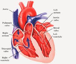 Anatomy Of Heart Valve Image8 Gif