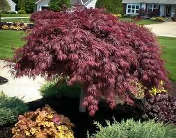 crimson japanese maple for sale the tree center