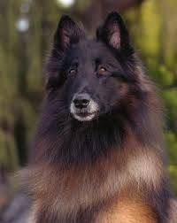 belgian sheepdog oregon welcome to sky acres