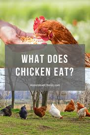 what does chicken eat find some of the best chicken feed now