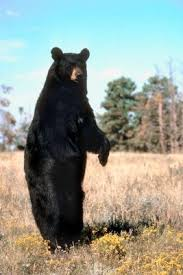 how to measure black bear rug homesteady