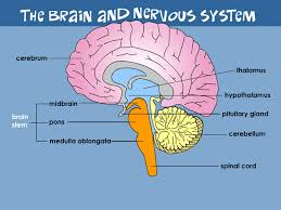 Role Of Brain Stem Your Brain U0026 Nervous System