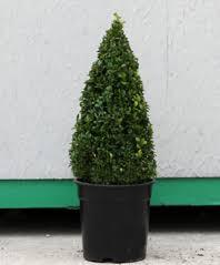 English Box Topiary - topiary trees and topiary ball plants