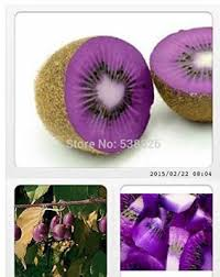 buy sd0595 purple wolftail grass seeds ornamental millet