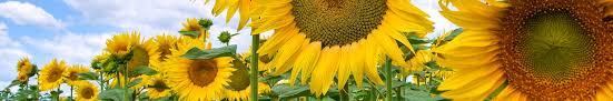 salina ks sunflower field by kansas state university dental care of salina salina smiles salina dentist our dental