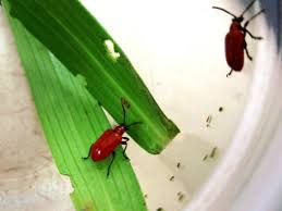 Wisconsin travel bug images Invasive lily leaf beetle poses new challenge to central wisconsin jpg