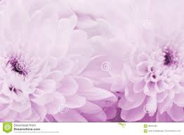 Pink Color Chrysanthemum Flowers For Background Beautiful Floral Texture