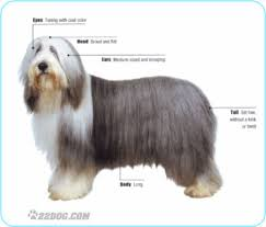 bearded collie mini bearded collie pictures information care requirements and other