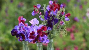 garden guru lynda hallinan u0027s top 9 flowers for picking stuff co nz