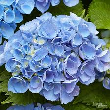 Climbing Plants That Flower All Year - best blue flowers for your garden