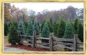 best christmas tree cutting experiences in the atlanta area cbs