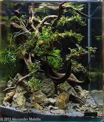 20 best bucephalandra tank images on pinterest aquariums