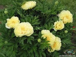 yellow peonies мир переводов decorative dendritic peonies adelman