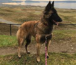 belgian sheepdog guard dog belgian tervuren one of four varieties of belgian shepherd dogs