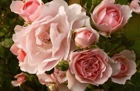 flowers rose flower plants horrifying rose flower grow in which
