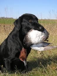 hunting dog wikipedia