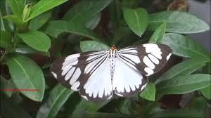 white tiger moth nyctemera coleta