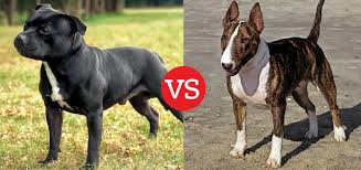 american pitbull terrier vs amstaff what u0027s the difference between the staffordshire bull terrier and