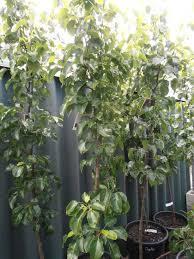 ornamental pear tree landsdale plants