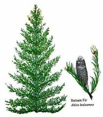 eek the balsam fir