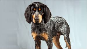 bluetick coonhound energy level bluetick coonhound puppies facts diet pictures behaviour
